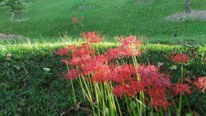 野に鮮やかに咲く曼珠沙華