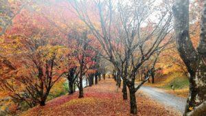 箕輪村の人たちが大切に育てた木々 見事な紅葉に