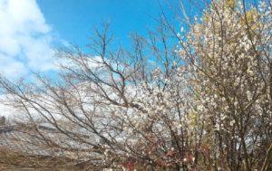 春を感じる梅の香り ウグイスの声を懐かしく聴き